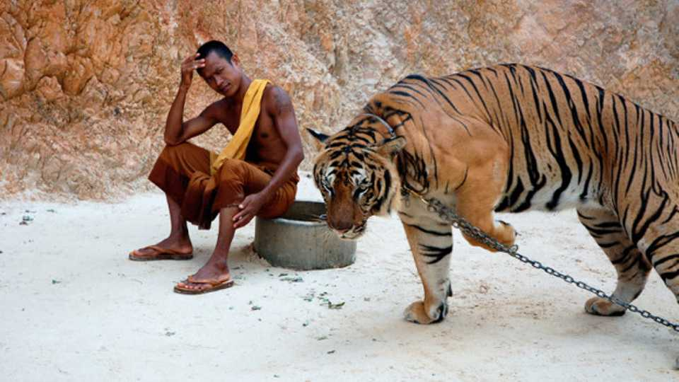 Image result for tiger temple drugged