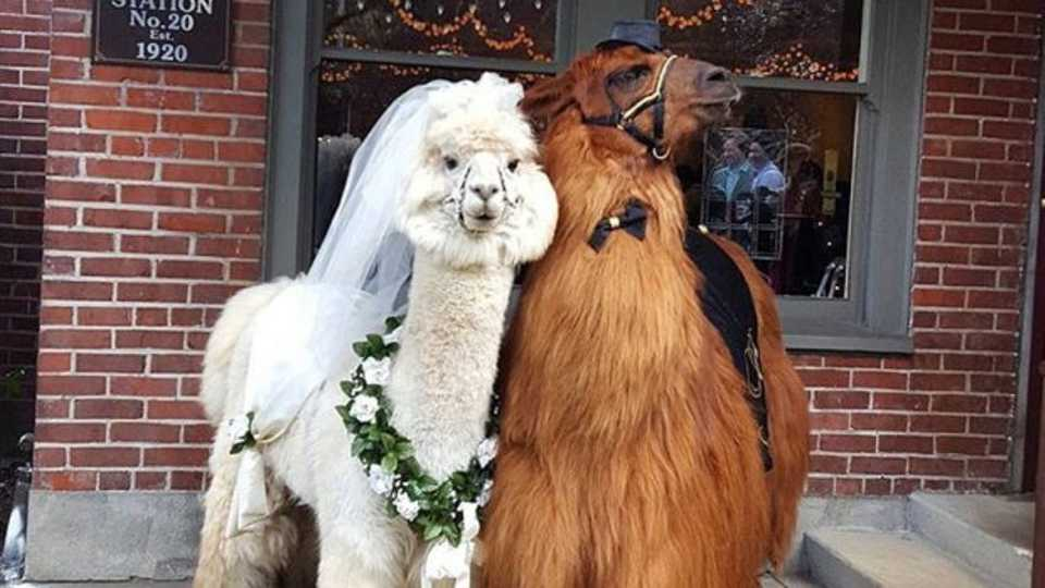 Llamas And All The Other Weird Wedding Trends Of 2017 Grazia